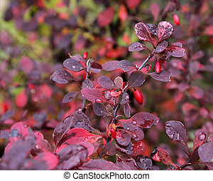The bright red berries of a Red Japanese Barberry shrub. (Berberis thunbergii f. atropurpurea) Shot in the fall after rain.