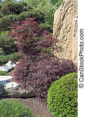 Red Japanese Maple in the garden