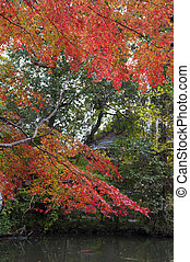 Red Japanese maple tree during autumn in Kyoto, Japan