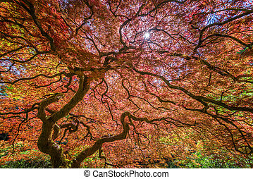 Red Japanese Maple Tree - Red Japanese Maple tree in...