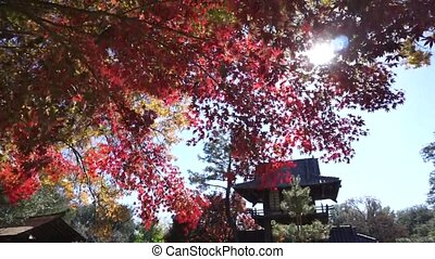 Red Japanese Maple Trees. - Japanese maple trees turning red...