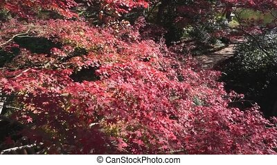 Red Japanese Maple Trees. - Red maple trees turning red in...