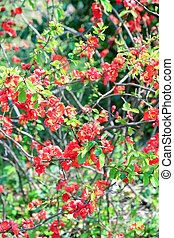 Red Japanese Quince flower