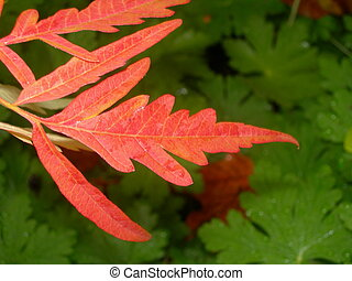 red Japanese sumac leaf in the late fall with geranium ground cover in the background
