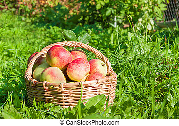 red juicy apples in the autumn - harvesting of red juicy...