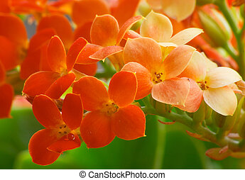 Red Kalanchoe - Flowers of red Kalanchoe