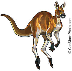 red kangaroo in motion, illustration isolated on white...