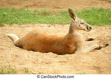 Red Kangaroo (Macropus rufus)