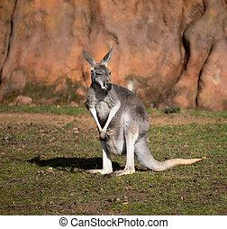 Red kangaroo, Megaleia rufa