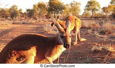Red kangaroos standing