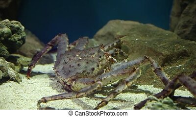 Red king crab - giant red king crab close to Paralithodes...