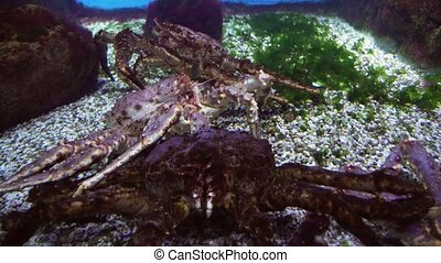 Red king crab in marine aquarium stock footage video - Red...