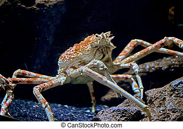 (Paralithodes camtschaticus) Red king crabs can be very large, sometimes reaching a carapace width of 28 centimeters (11 in) and a leg span of 1.8 meters. It was named after the color it turns when it is cooked rather than the color of a living animal, which tends to be more burgundy.