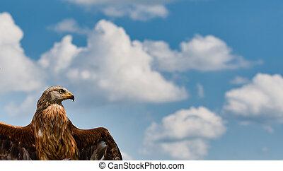 Red Kite ( Milvus milvus).