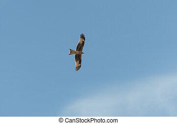 Red kite, Milvus milvus, in flight. This kite is currently ...