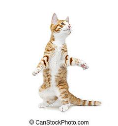 Red kitten standing on back legs