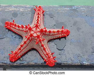 Red-knobbed starfish (Protoreaster linckii)