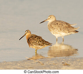 Red Knot in breeding plumage walking in shallow water with Eastern Willet in background
