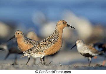 Red Knot on Crowded Beach