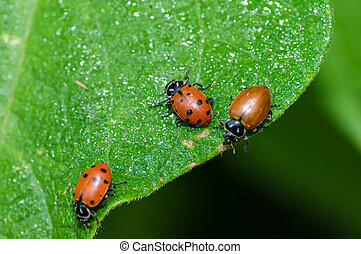 Red lady bug beetles feeding on a green leaf