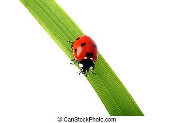 Red Ladybird on a grass