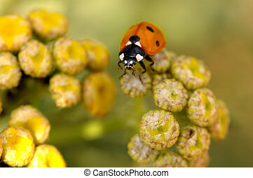 red ladybird on blured yellow flowers