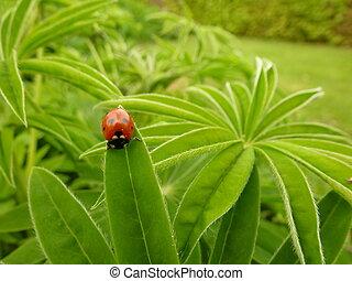 Red Ladybird on Lupin - Red ladybird (ladybug) on lupin...