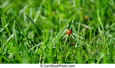 Red ladybug and chafer bug on a green grass closeup.