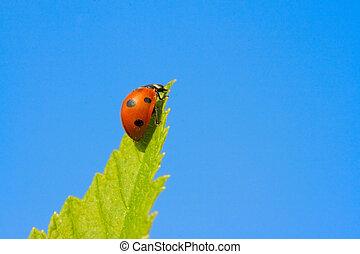 Red ladybug (Coccinella septempunctata) on green leaf - Red...
