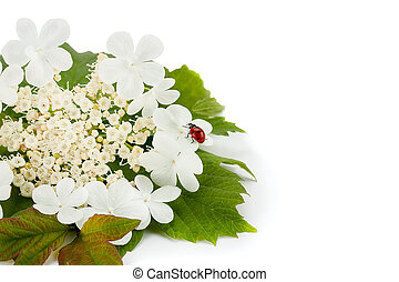 Red ladybug on a white flower.