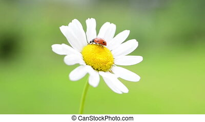 Red ladybug on white daisy with green grass background....