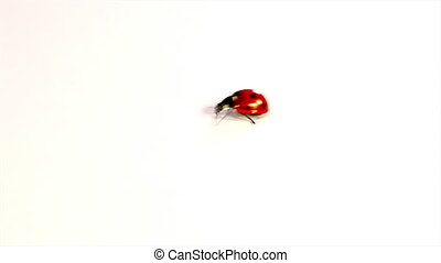 Red Ladybugs fly away - Red Ladybugs on white background and...