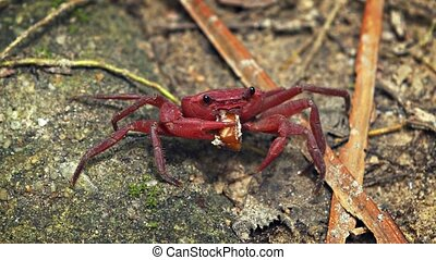 Red land crab carries edible morsel in his claw as he crawls...