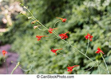 Red Larkspur (Delphinium nudicaule) wildflowers blooming in ...