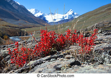 Red leaf barberry on the background of snowy mountains