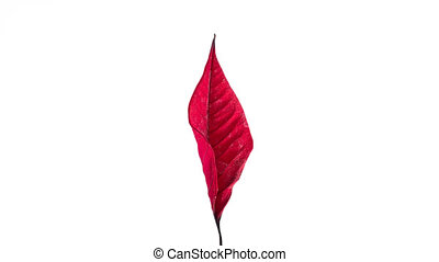 Red leaf drying and taking a bow - Single red leaf drying ...