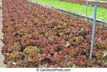 Red leaf lettuce plantation
