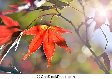 red leaf of a maple