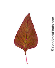 Red leaf of Amaranth