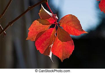 Red leaf of Parthenocissus Quinquefolia - Parthenocissus...