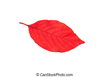 Red leaf of tree isolated on white background