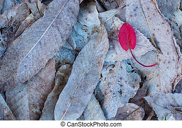 Red leaf on top of brown frozen leaves