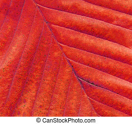 Red leaf texture. Minimal autumn concept.