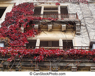 Red Leaf vine plant grow on the side of a building with windows long removed on Angel Island.