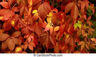 Red leaves autumn in motion HD 1920x1080 - Red leaves autumn...