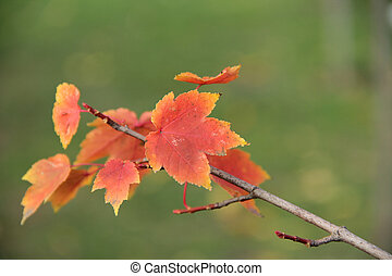 red leaves autumn maple branch