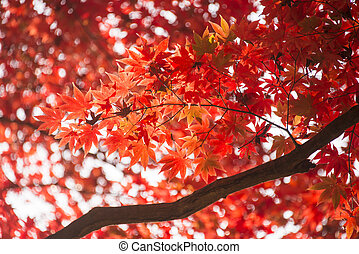 red leaves in autumn. Abstract background.