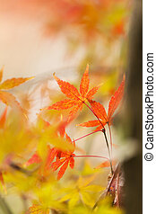 Red leaves in autumn at Japan