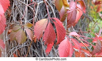 Red leaves in autumn - Red grape  leaves in autumn