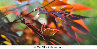 red leaves of a maple japan